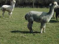 hodowla-alpaki-polska-alpaca-west-dorset-45