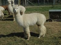 hodowla-alpaki-polska-alpaca-west-dorset-48