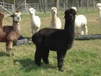 hodowla-alpaki-polska-alpaca-west-dorset-53