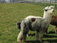 hodowla-alpaki-polska-alpaca-west-dorset-59