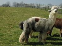 hodowla-alpaki-polska-alpaca-west-dorset-60