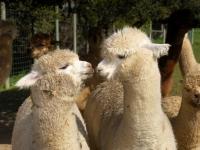 hodowla-alpak-samiczki-huacaya