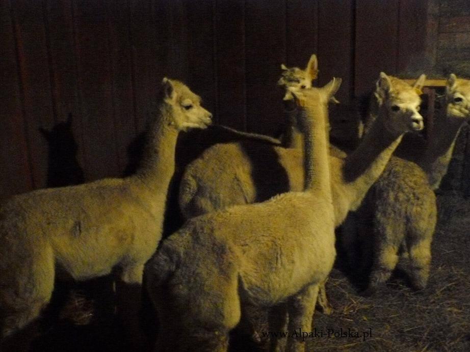 Alpaki Huacaya premium dotarły na Podlasie