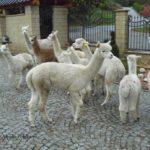 Alpaki supreme i premium - samice w grupie